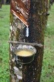 Productie van rubber van een rubberboom in Thailand, Azië royalty-vrije stock afbeeldingen