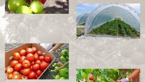 Productie van tomaten in serres stock video