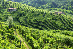 Production area of Prosecco. Valdobbiadene - Italy vineyards of Prosecco wine royalty free stock images