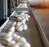The production of chicken eggs, poultry, chicken eggs go through the conveyor for further sorting, close-up, transporter, farm. The production of chicken eggs stock photography