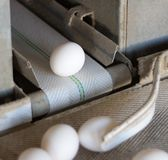 The production of chicken eggs, poultry, chicken eggs go through the conveyor for further sorting, close-up, transporter, farm. The production of chicken eggs stock images
