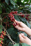The production of coffee beans. Stock Photos