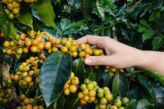 Production of coffee beans harvested Stock Photo