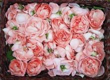 Production de pétrole de Rose Culture industrielle de Rose contenant de l'huile Photographie stock libre de droits