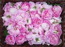 Production de pétrole de Rose Culture industrielle de Rose contenant de l'huile Photographie stock