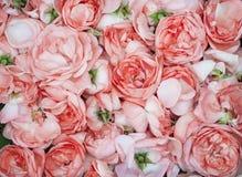 Production de pétrole de Rose Culture industrielle de Rose contenant de l'huile Photo libre de droits