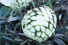 Production de tequila d'agave photo stock
