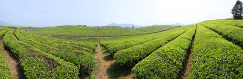 Production de thé Photographie stock libre de droits