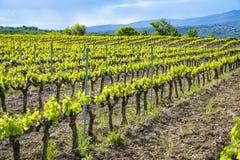 Production de vin ros?, rouge et blanc pr?s de petite ville Lacoste en Provence, au sud de la France, vignoble en d?but de l'?t? photographie stock libre de droits