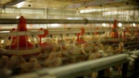 Production de volaille de ferme de poulet banque de vidéos