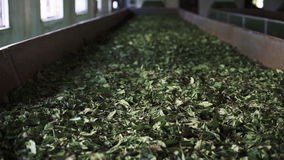 Production of Indian tea
