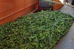 Cucumbers in the processing plant Stock Images