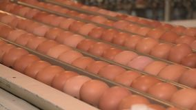 Production line at chicken farm stock footage