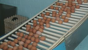 Production line at chicken farm stock video