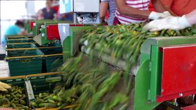 Production line for processing of cucumbers stock video