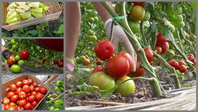 Production of organic vegetable tomatoes and peppers stock video footage