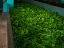 Production of processing tea leaves. Sri Lanka Royalty Free Stock Images