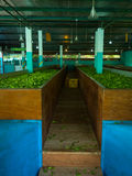 Production of processing tea leaves. Sri Lanka Royalty Free Stock Photos