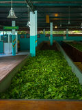Production of processing tea leaves. Sri Lanka Royalty Free Stock Image
