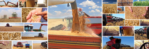 Production of wheat Stock Images