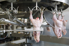 Production of white meat Stock Images