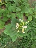 Productnaam; Tabak, Broninstallatie; Nicotiana royalty-vrije stock afbeelding