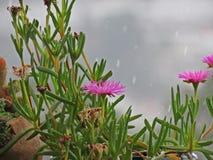 Productus Lampranthus Royalty-vrije Stock Afbeeldingen