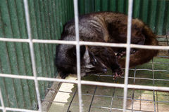Produit le luwak de Kopi Photos libres de droits