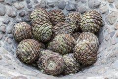 Produktion av tequilaen flera agaves som är klara att baka royaltyfri bild
