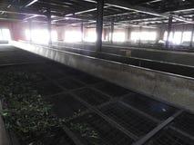 Produktion der Verarbeitung von Teebl?ttern Sri Lanka stockfotografie
