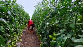 Produktion des Gemüses in den Gewächshäusern
