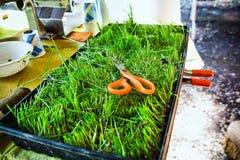 Produrre la spremuta dei wheatgrass Fotografia Stock Libera da Diritti