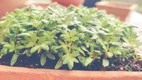 Produzca el tomate de la semilla - vídeo muestra almácigos jovenes del tomate en bandeja de la semilla - carro tirado almacen de metraje de vídeo