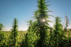 Produzca la marijuana de las plantas Fotos de archivo