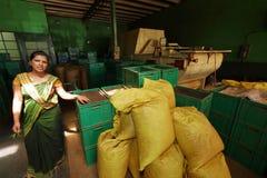 Produzione del tè nello Sri Lanka Fotografia Stock