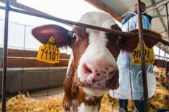 Produzione dell'azienda agricola della mucca Fotografia Stock
