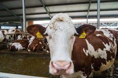Produzione dell'azienda agricola della mucca Immagini Stock