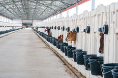 Produzione dell'azienda agricola della mucca Fotografia Stock Libera da Diritti