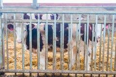 Produzione dell'azienda agricola della mucca Fotografie Stock