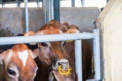 Produzione dell'azienda agricola della mucca Fotografie Stock Libere da Diritti