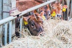 Produzione dell'azienda agricola della mucca Immagine Stock Libera da Diritti