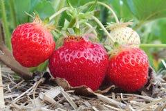 Produzione della frutta di agricoltura del primo piano del giacimento della fragola macro Immagine Stock Libera da Diritti