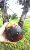 Produzione della palma da zucchero thailand Fotografia Stock Libera da Diritti