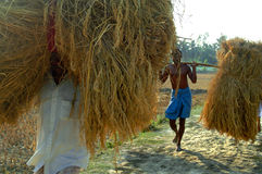 Produzione della risaia fotografie stock libere da diritti