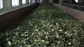 Produzione di tè indiano stock footage
