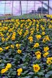 Produzione gialla del fiore nella produzione agricola della serra Fotografia Stock Libera da Diritti