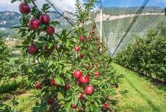 Produzione intensiva o frutteto della frutta con le reti di difesa delle colture nel Tirolo del sud, Italia Meleto di nuova varie fotografie stock