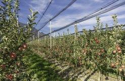 Produzione intensiva o frutteto della frutta con le reti di difesa delle colture nel Tirolo del sud, Italia Meleto di varietà fotografia stock