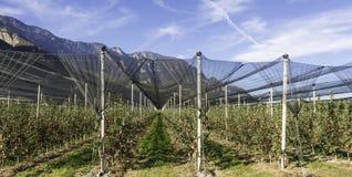 Produzione intensiva o frutteto della frutta con le reti di difesa delle colture nel Tirolo del sud, Italia Meleto di varietà fotografie stock libere da diritti