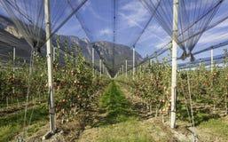 Produzione intensiva o frutteto della frutta con le reti di difesa delle colture nel Tirolo del sud, Italia Meleto di varietà immagine stock libera da diritti